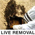 Pictures of Live Bee Removal